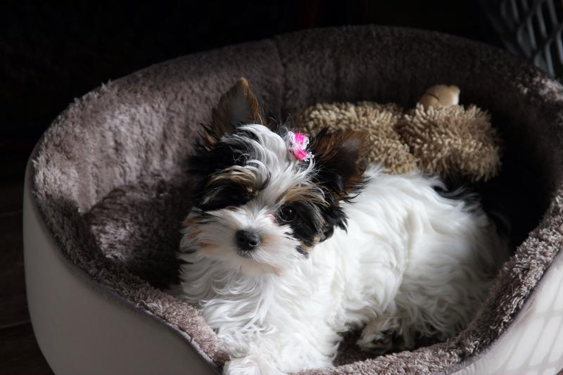 Tips On Raising A Yorkie Puppy | Dog Breeds Picture