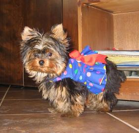 Yorkshire terrier puppy for sale mn